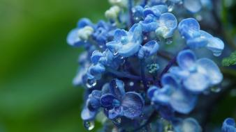 Flowers plants macro blue hydrangeas wallpaper