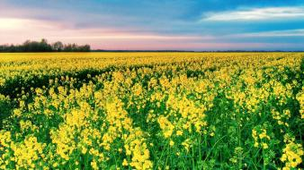 Landscapes nature flowers fields yellow field Wallpaper