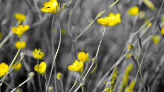 Nature flowers selective coloring yellow wallpaper