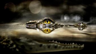 Nature national geographic bokeh alligators reptiles wallpaper