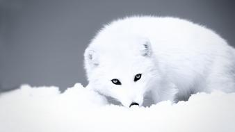 Nature snow animals arctic fox foxes wallpaper