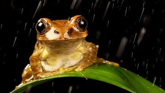 Rain leaves frogs amphibians wallpaper