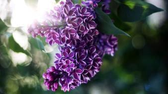 Trees flowers plants bokeh lilac purple wallpaper