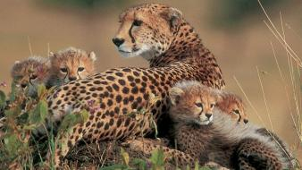 Animals cheetahs feline baby Wallpaper