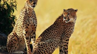 Animals cheetahs feline Wallpaper