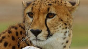 Animals cheetahs feline zoo Wallpaper
