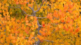 Autumn (season) the fall california nevada aspen sierra wallpaper