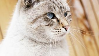 Cats blue eyes animals wallpaper