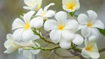 Flowers white plumeria wallpaper