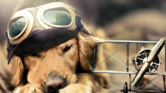 Fly golden retriever wallpaper