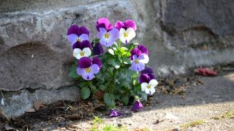 Minimalistic flowers pansies wallpaper