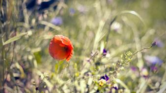 Nature flowers bokeh red poppies wallpaper