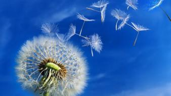 Nature flowers dandelions skyscapes wallpaper
