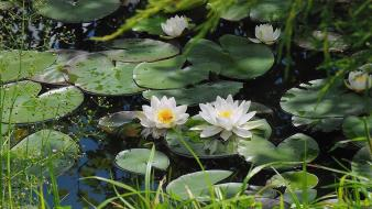 Nature flowers lily pads water lilies wallpaper