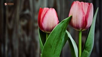 Nature flowers tulips april wallpaper