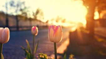 Sunrise flowers tulips Wallpaper