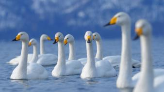 Water nature birds swans blurred background wallpaper