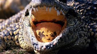 Alligators reptiles wallpaper