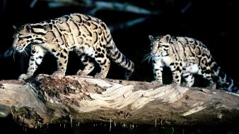 Animals leopards clouded neofelis nebulosa wallpaper