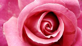 Close-up flowers roses pink rose wallpaper