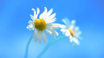 Flowers windows 8 dandelions blue walls wallpaper