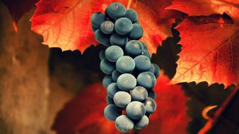 Nature fruits leaves grapes wallpaper