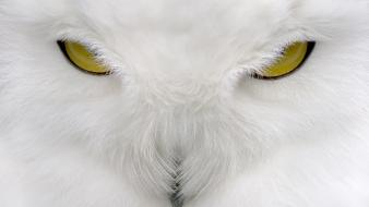 Owls white owl wallpaper