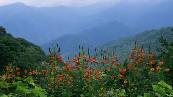 Park lilies great smoky mountains turk ridge Wallpaper