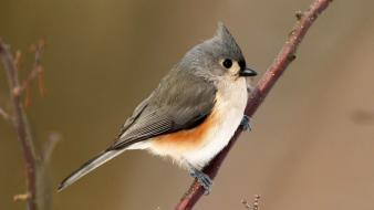 Tufted titmouse twig birds wallpaper