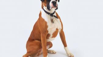 Animals dogs boxer dog wallpaper