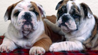Animals dogs bulldog wallpaper