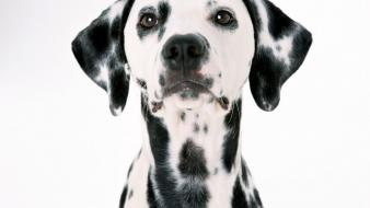 Animals dogs dalmatians wallpaper
