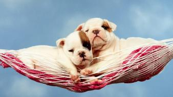 Animals dogs hammock Wallpaper