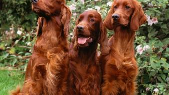 Animals dogs irish setter wallpaper
