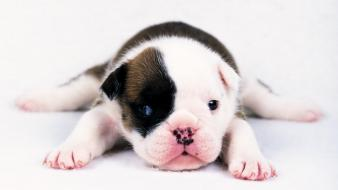 Animals dogs puppies bulldog wallpaper