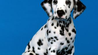 Animals dogs puppies dalmatians wallpaper