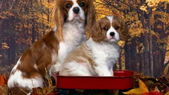 Animals dogs puppies king charles spaniel fallen leaves wallpaper