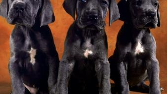 Animals dogs puppies labradors wallpaper