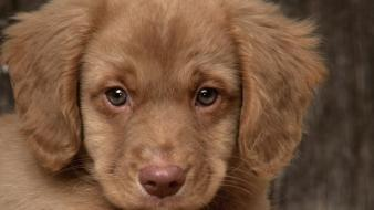 Animals dogs puppies retriever wallpaper