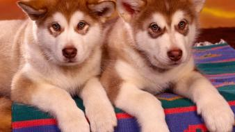 Animals dogs puppies siberian husky wallpaper