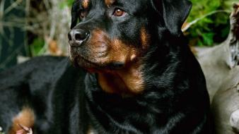 Animals dogs rottweiler Wallpaper
