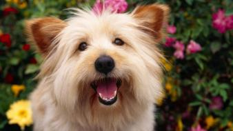 Animals dogs terrier Wallpaper