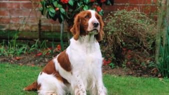 Animals dogs welsh springer spaniel wallpaper
