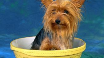 Animals dogs yorkshire terrier Wallpaper
