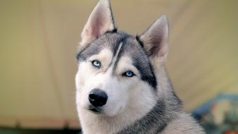 Eyes blue animals dogs husky wallpaper