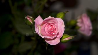 Nature flowers pink roses wallpaper