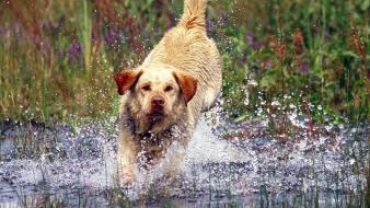 Water animals dogs running labrador retriever splashes wallpaper