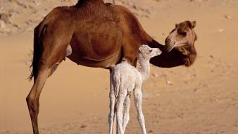 Animals camels baby wallpaper