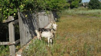 Animals goats wooden fence wallpaper