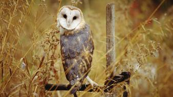 Animals owls birds wallpaper
